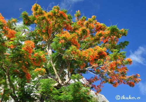 鳳凰木の大木
