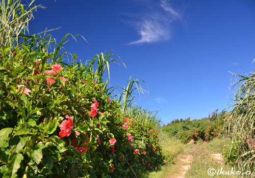 ハイビスカスの咲く道