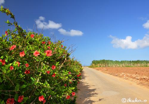 農道に咲くハイビスカス