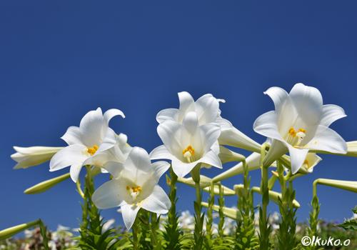 純白の百合と青空