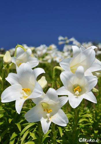 輝く純白の百合