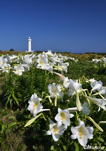 百合の花と灯台