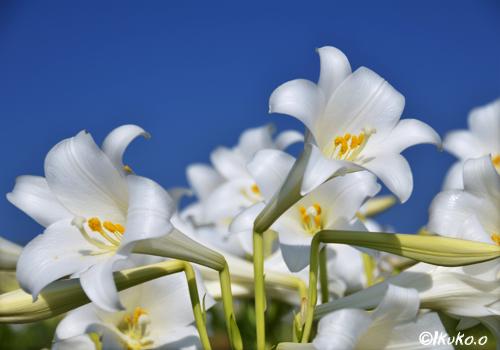 青に映える百合の花