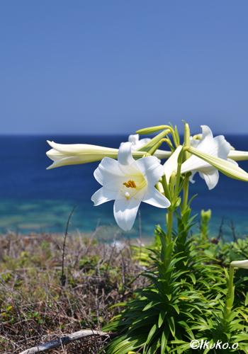 断崖にひっそりと咲く百合の花