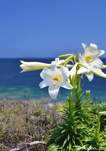 海辺の百合の花