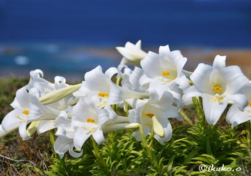 断崖にしがみついて咲く百合