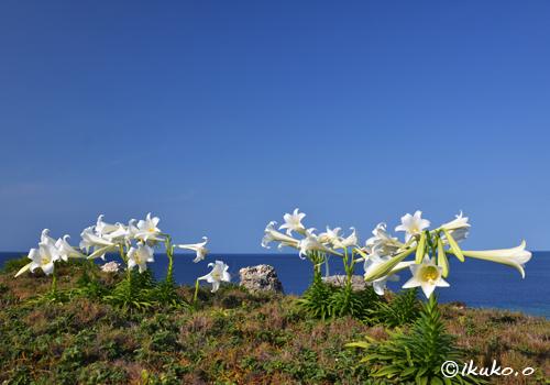崖の上に咲く百合の花