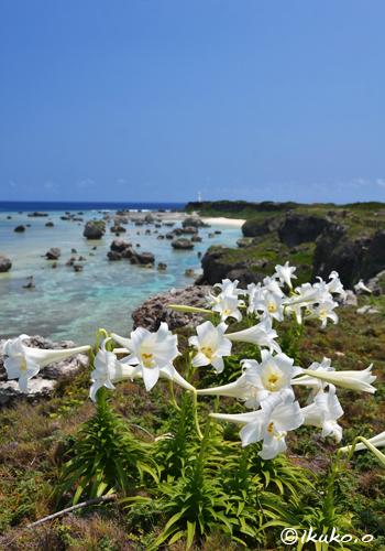東平安名崎の海と百合