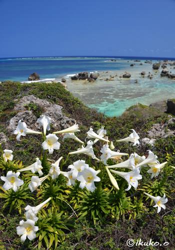 断崖に咲く百合の花