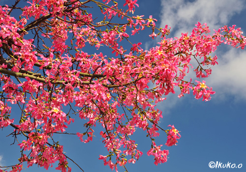 青空に映えるピンクの花