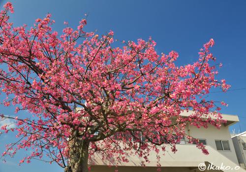 トックリキワタの豪華な大木