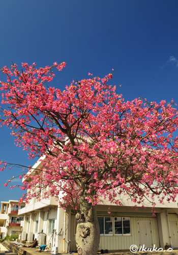 青空とピンクの大木