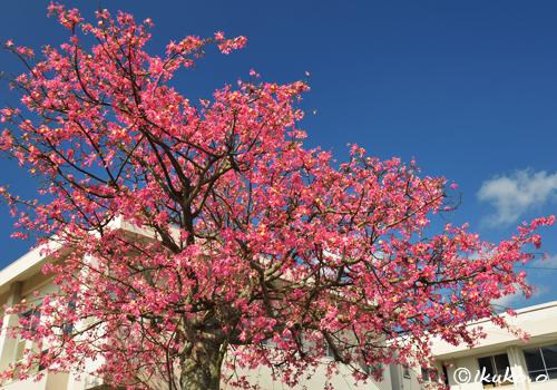 豪華なトックリキワタの大木