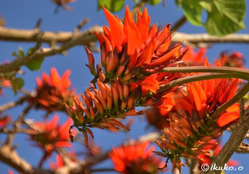 真っ赤なデイゴの花