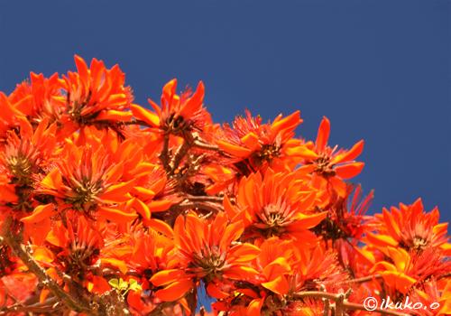 咲き乱れるデイゴの花