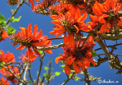 青空とデイゴの花
