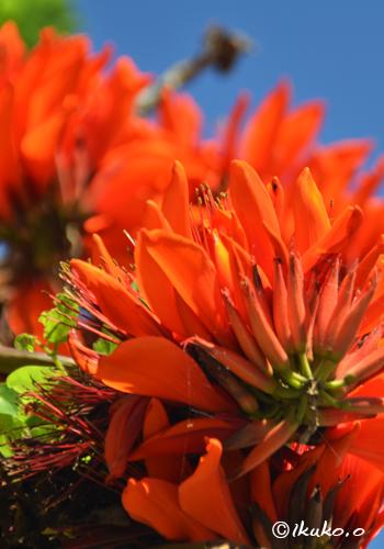 華麗なデイゴの花