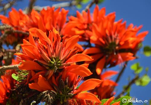 華やかに咲くデイゴの花