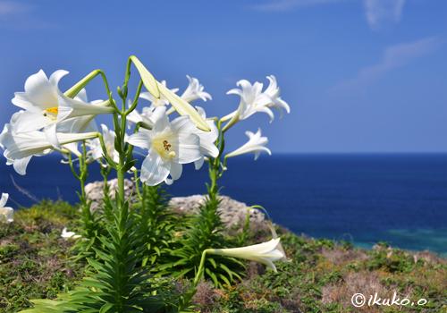 崖の上に咲くテッポウユリ