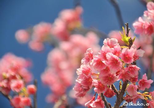 青空と可憐な寒緋桜