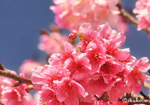 可憐な寒緋桜の花