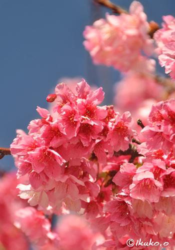 青空に映える寒緋桜