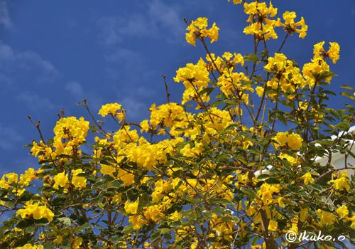 青空と黄色の花々