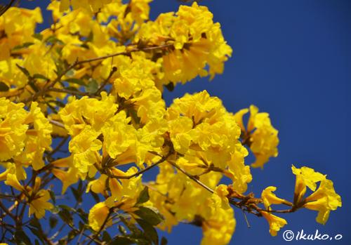 黄金色の花々