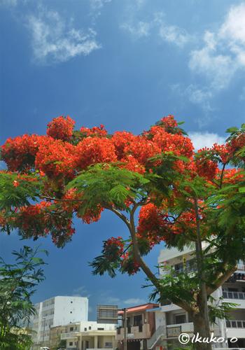 パラソルのような鳳凰木
