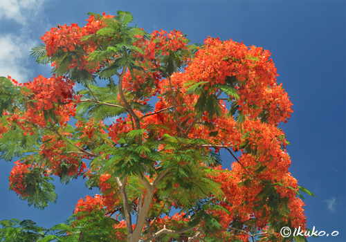 青空に映える鳳凰木の花