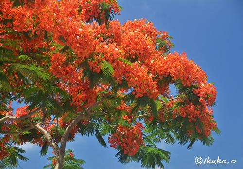 夏空と鳳凰木