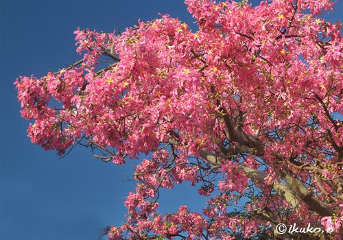 咲き乱れるトックリキワタの花