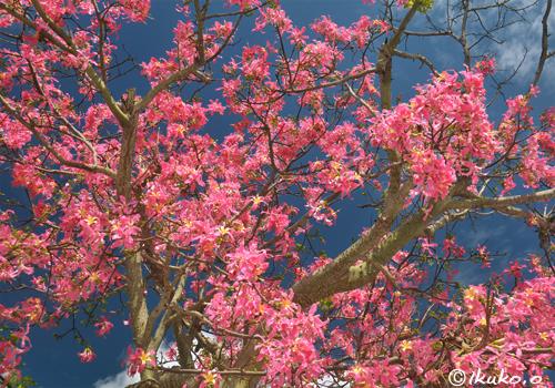 トックリキワタの花と青空