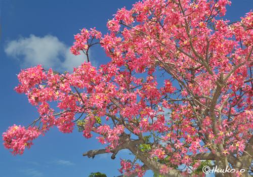 青空に映えるトックリキワタの花
