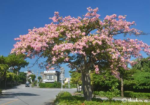 道路脇のトックリキワタの大木