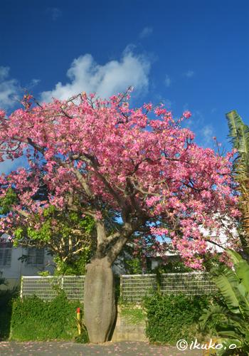 西里の大木