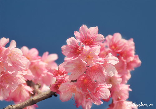青空と可憐な緋寒桜の花