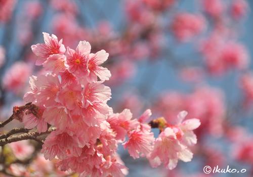 可憐なピンクの寒緋桜