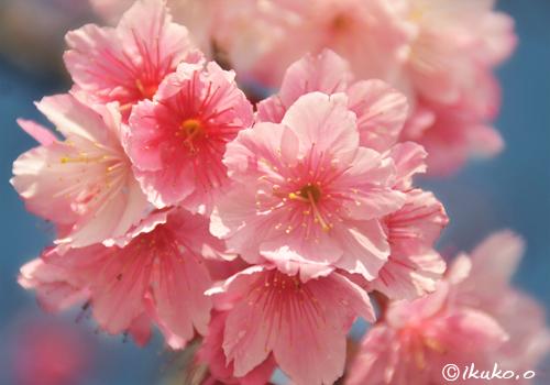 薄紅色の可憐な寒緋桜