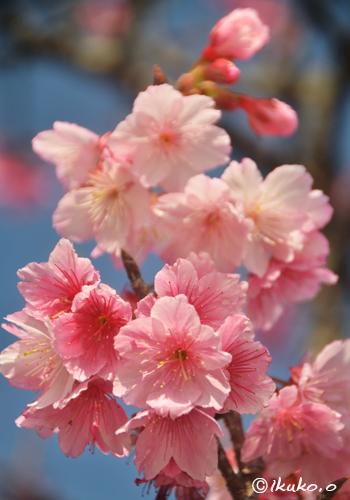寒緋桜の可憐な花