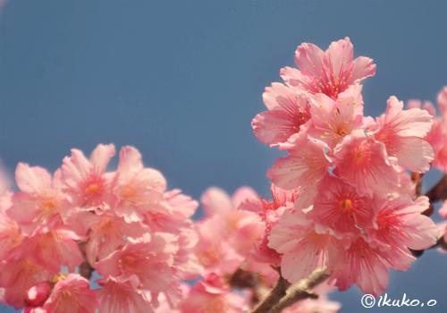 青空と寒緋桜