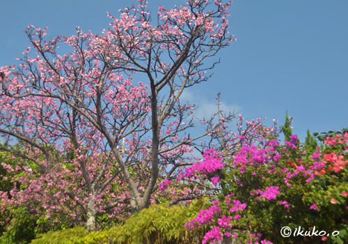 ブーゲンビレアと寒緋桜