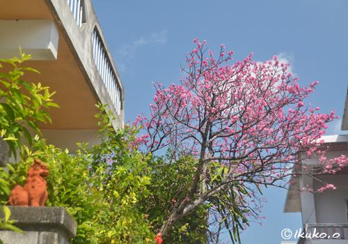 道の上に張り出した寒緋桜