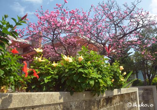 ハイビスカスと寒緋桜