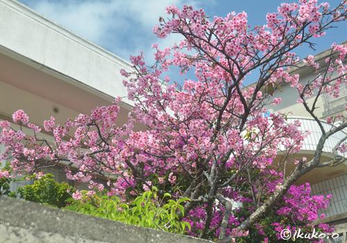 庭先に咲く寒緋桜