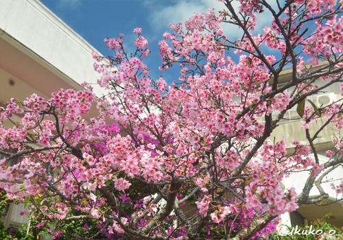 枝を広げた寒緋桜