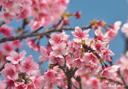 淡い春色の寒緋桜
