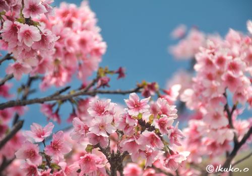 満開の寒緋桜と青空