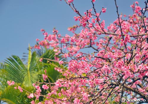 ヤシの木と寒緋桜