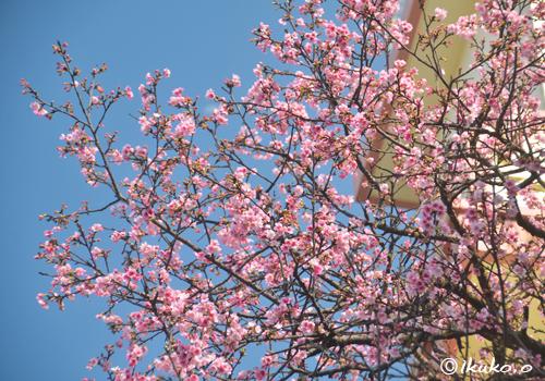 頭上に咲く寒緋桜